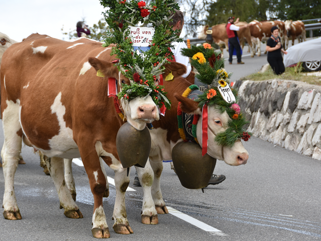 Tradition in der Ferienregion Seiser Alm der Almabtrieb
