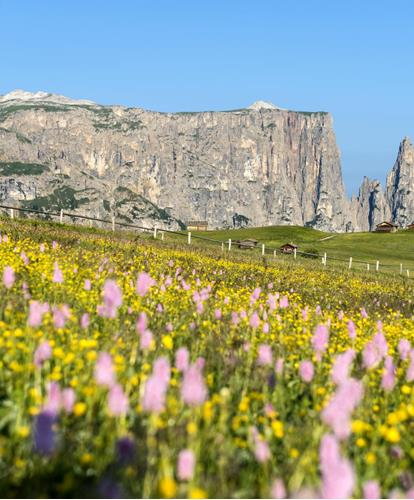 Flower meadow on the Seiser Alm with a view of the Schlern and Santner massifs